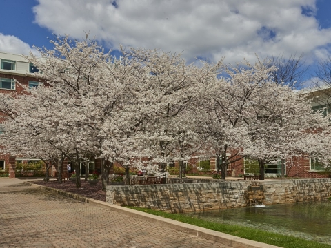 Cherry Blossom Tree in Courtyard