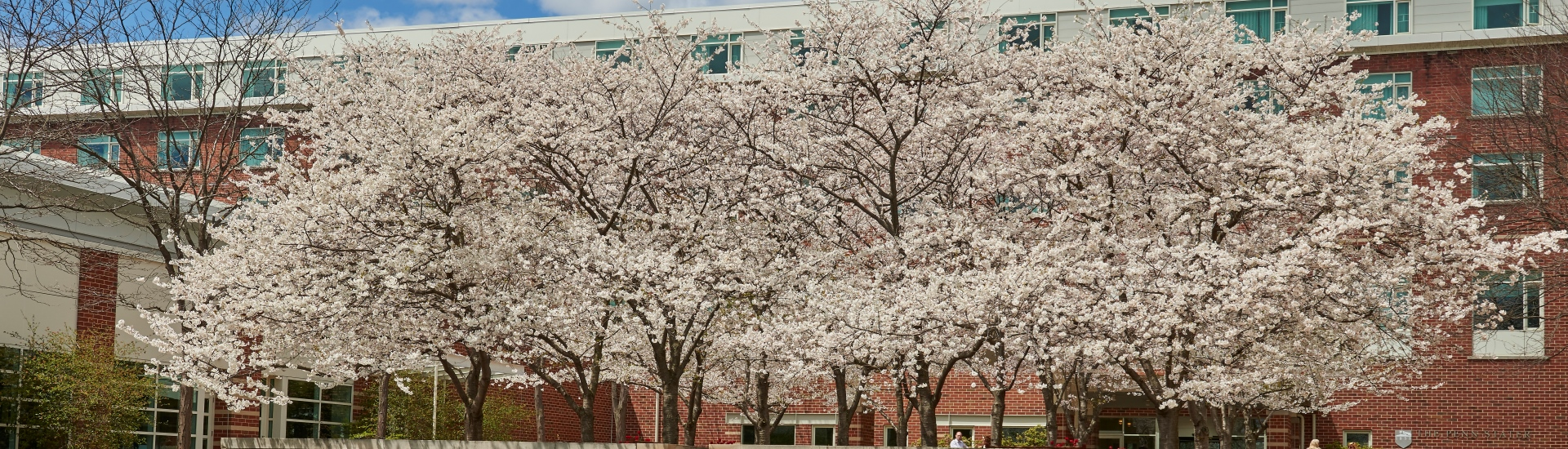 The Penn Stater Cherry Blossoms